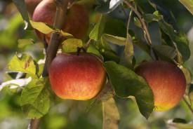 jablecne-platky